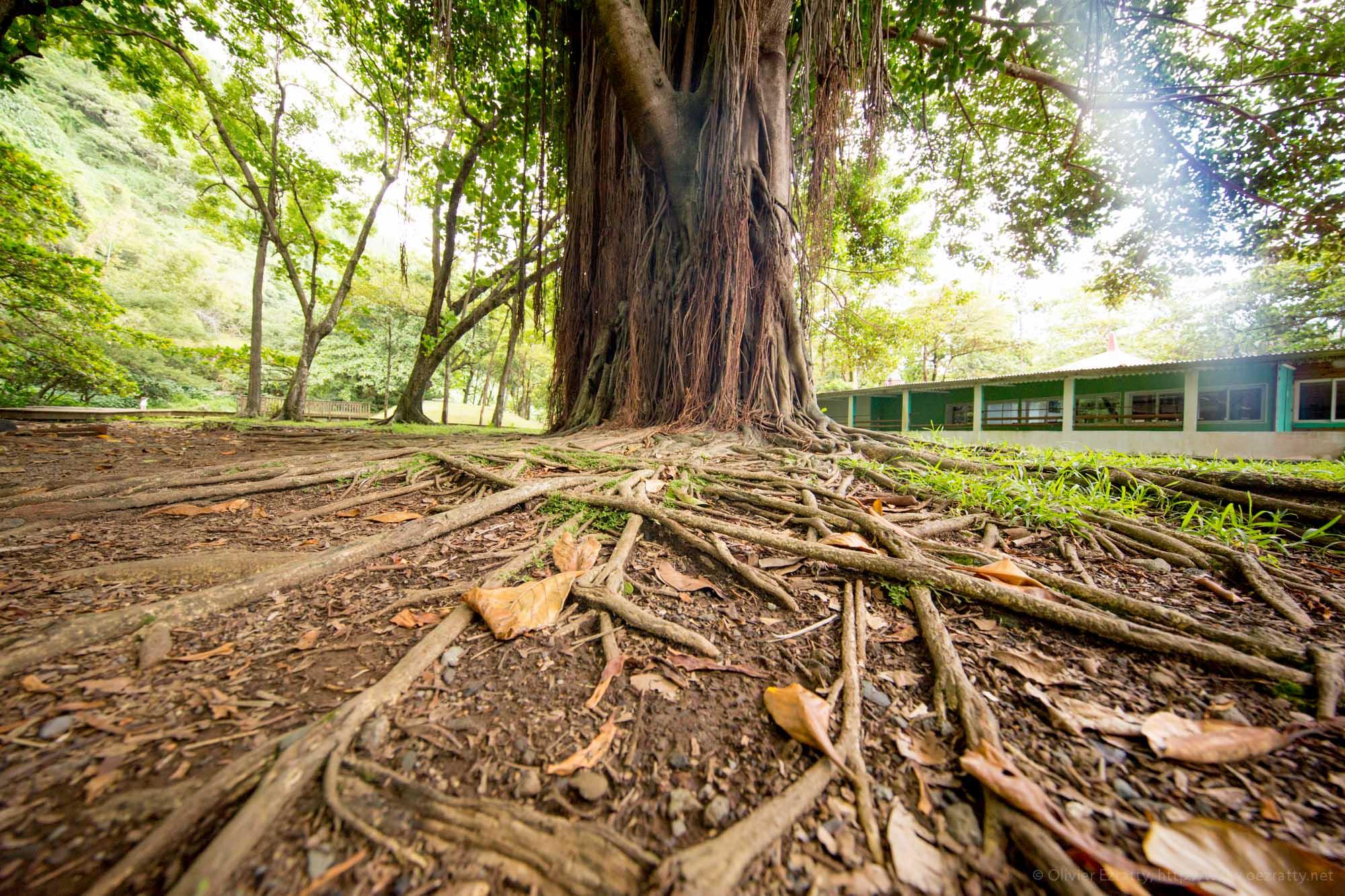 Un écosystème, ce sont d'abord des racines et une mise en réseau, puis une croissance vers le haut... :) ! Ici, à l'Anse des Cascades au sud de la Réunion.
