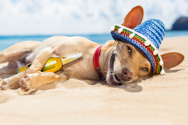chihuahua dog  relaxing and resting , drunk  on the sand at the beach on summer vacation holidays, ocean shore behind