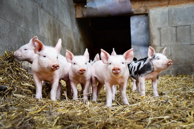 Photo de Du porc, de la blockchain…IBM et Walmart veulent tracer la viande en Chine
