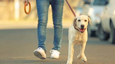 Photo de SoftBank injecte 300 millions de dollars dans un service de dog sitting