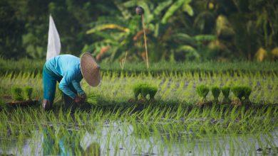 Photo de Comment Alibaba veut mettre l'agriculture à l'heure de l'intelligence artificielle